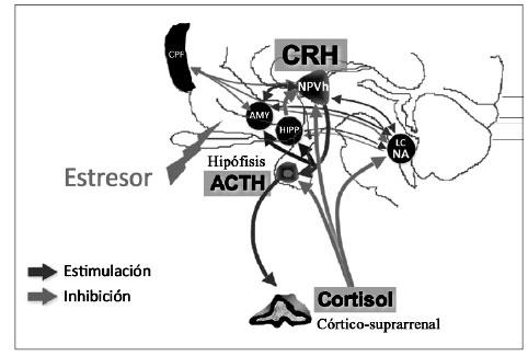 Neurobiología del estres